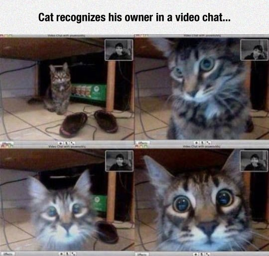 Cat recognizes his owner in a video chat..