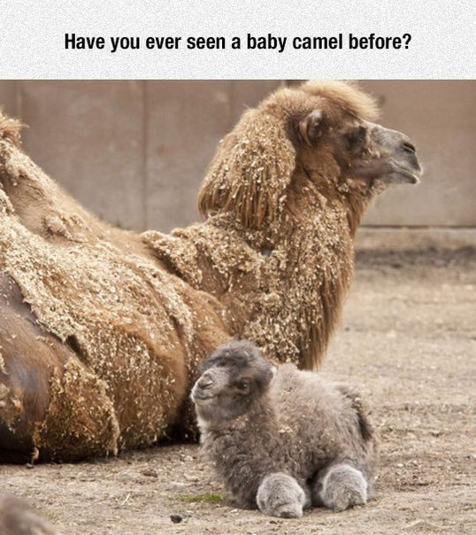 Have you ever seen a baby camel before? - Myspace Photo