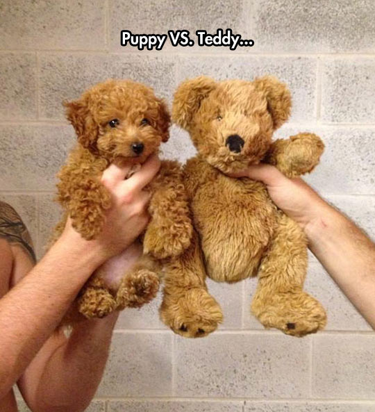 Puppy vs. Teddy...