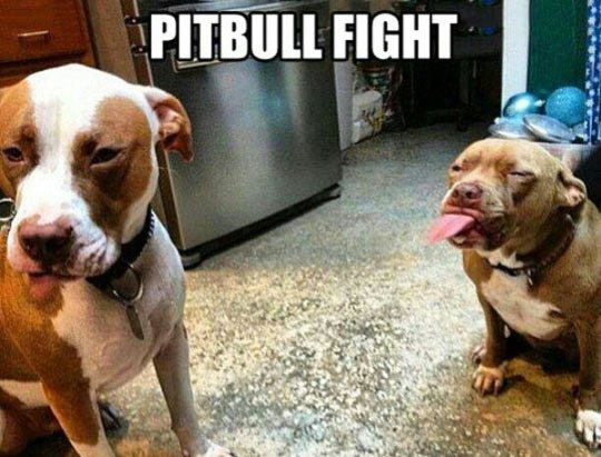 Image may contain: Pitbull fight - Myspace Photo