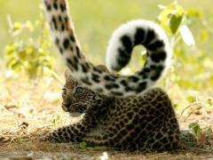 leopard-cub-lying-on-ground_600x450