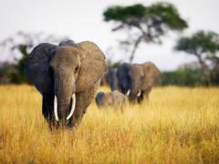 Herd of Elephants Photo, Animal Wallpaper,  Tanzania