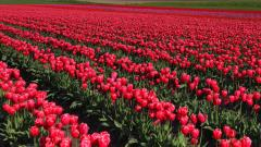 Skagit Valley Tulips 3