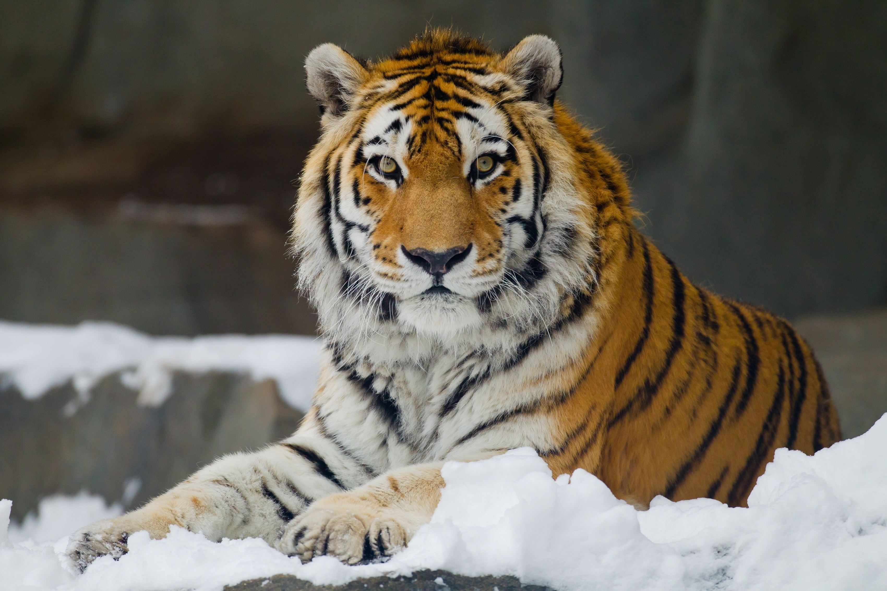 siberian tiger | hd wallpapers