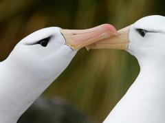 Black-Browed Albatrosses, South