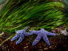 Sea Stars, British Columbia