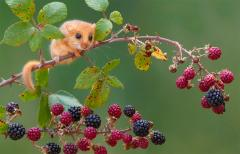 The Hazel Dormouse