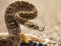 Diamondback, Big Bend National Park