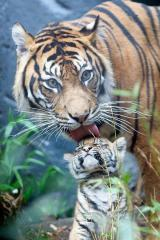 The most magnificent creature in the entire world, the tiger is