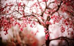 Cherry Flowers Branches Spring