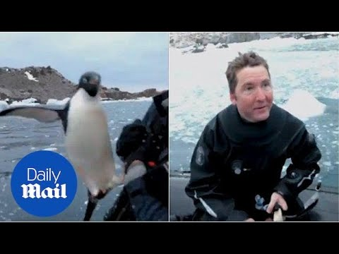 Hilarious moment enthusiastic penguin jumps aboard boat - Daily Mail