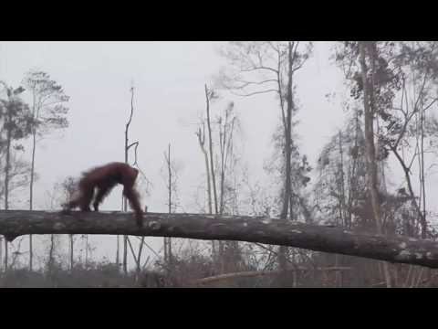 Newly Released Footage Shows Heart Breaking Impact Of Deforestation On Orangutans