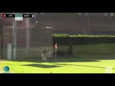 Look at this kangaroo footballer, so funny