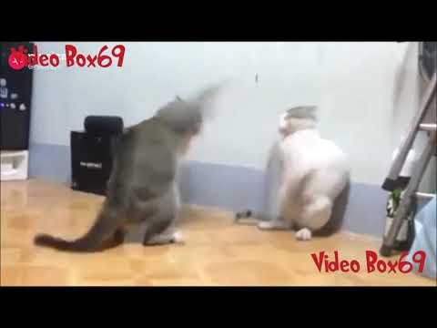 Pro UFC Cat's fighting